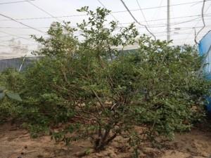 30年の樹
